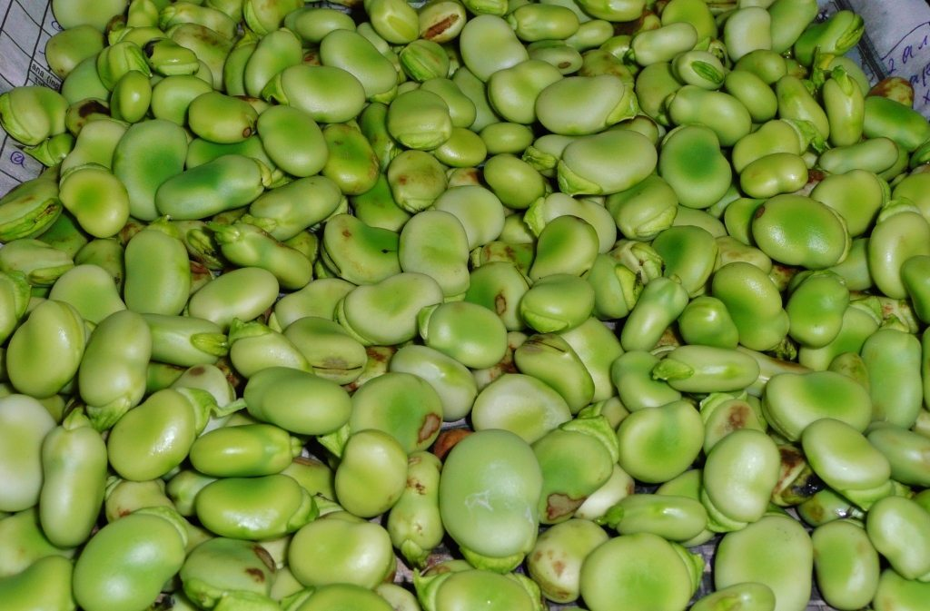 Fava Beans - Broad Beans